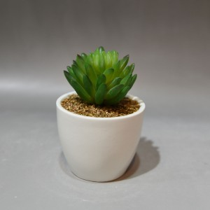 Gold Lace Cactus Potted Plant